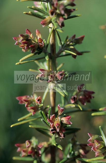 Europe/France/Auvergne/12/Aveyron/Les Homs-du-Larzac: Romarin dans le jardin de plantes aromatiques de Pierre-Yves de Boissieu