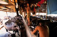 INDIA Mumbai, urban agriculture, stable with buffalos for milk production in living area in suburban Andheri, milk man at prayer to Hindu gods / INDIEN Mumbai, urbane Landwirtschaft, im Stadteil Andheri befinden sich Bueffelstaelle in Wohngebieten, nach dem Melken wird die frische Milch direkt verkauft