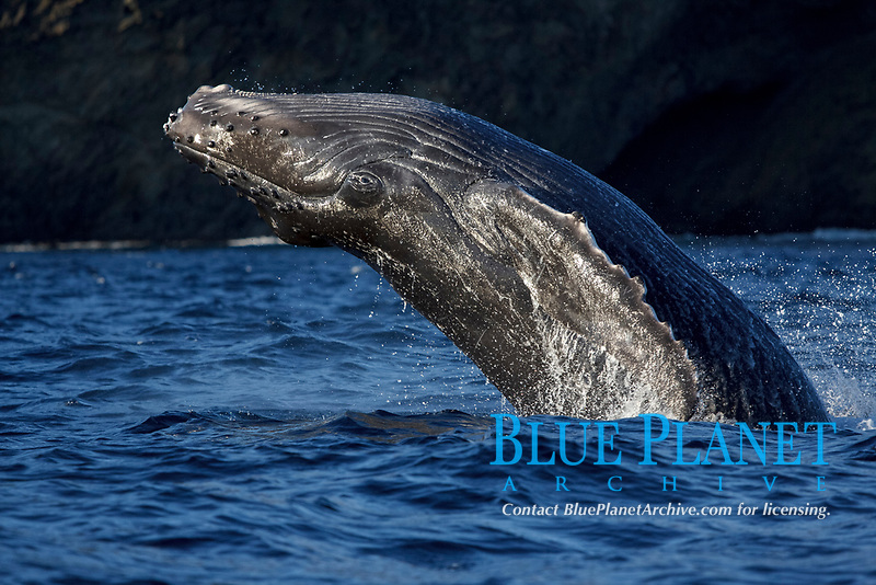 humpback whale, Megaptera novaeangliae, calf, breaching, Chichi-jima, Bonin Islands, Ogasawara Islands, Natural World Heritage Site,  Tokyo, Japan, Pacific Ocean