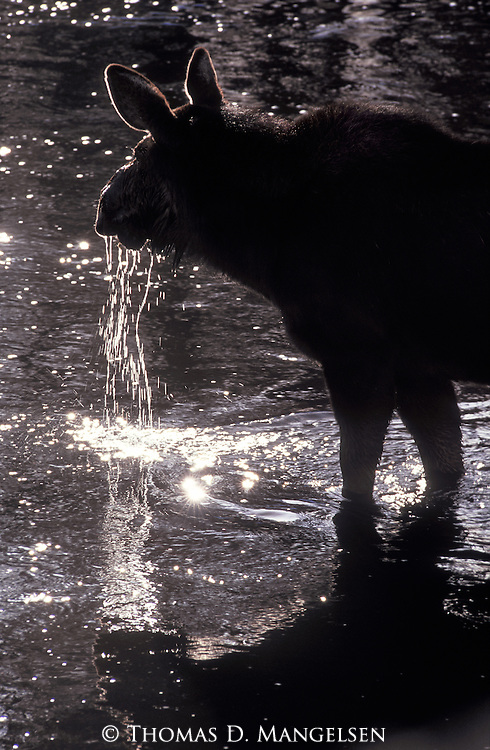 Water drips from the mouth of a moose after it raises its head from the Firehole River in Yellowstone National Park, Wyoming.