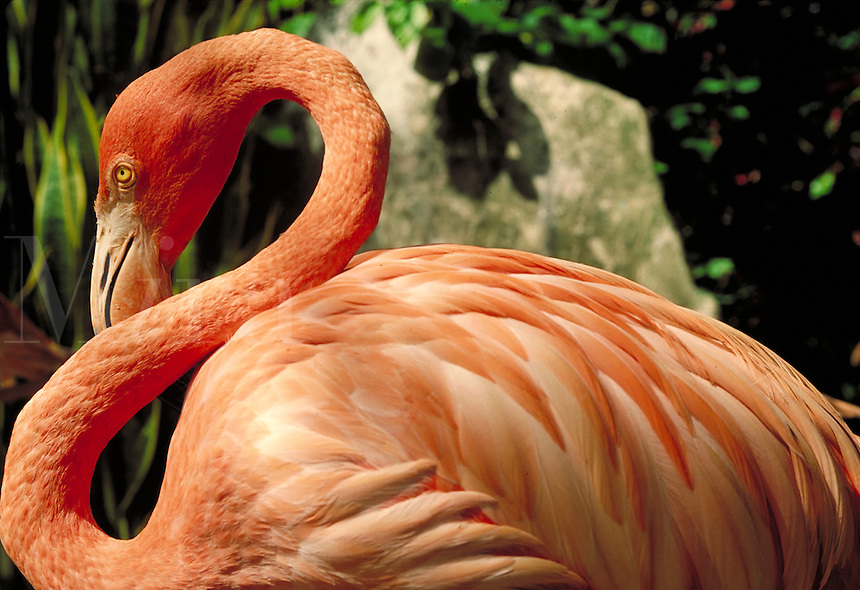 portrait of side view of pink flamingo. Nassau, Bahamas.