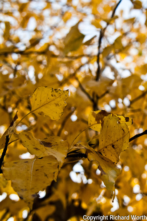 Golden fall leaves cling to trees lining the Yuba River at Cisco Grove, California.