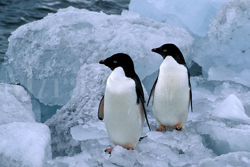 Adelie Penguin, Pygoscelis adeliae, King George Island, Antarctica
