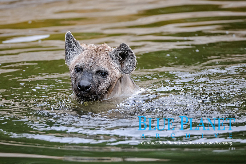 Young Spotted Hyena (Crocuta crocuta), swimming in the water