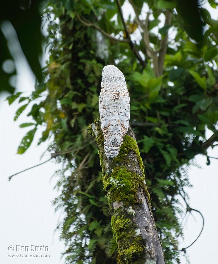 Great Potoo, Nyctibius grandis, near La Fortuna, Costa Rica