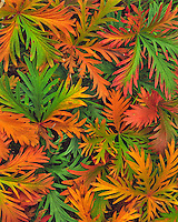 Autumn colored cinquefoil leaves in Umatilla Naational Forest. Washington