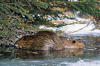 Adult beaver with juvenile feeding on tree limbs in beaver pond.  Winter. (Castor canadensis).  Beavers are the largest rodents in North America.