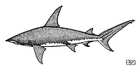 Great hammerhead, Sphyrna mokarran, lateral view, pen and ink illustration.