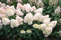 Hydrangea paniculata 'Pee Wee' in summer bloom