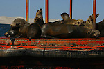CALIFORNIA SEALS REST on a BUOY MOORED in the SEA
