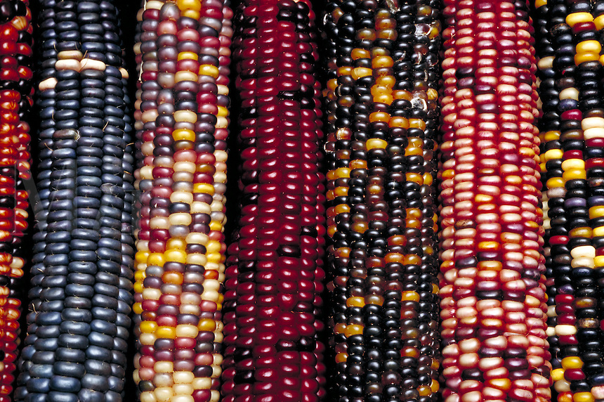 Dried ears of ornamental corn, in many bright striking colors. . Utah, States Downtown Farmer's, Market.