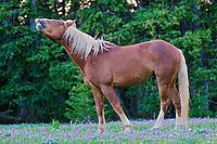 Wild Horse or feral horse (Equus ferus caballus) stallion smelling--flehmen display.  Western U.S., summer.
