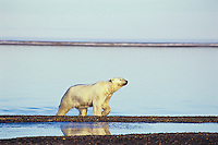 Polar Bear emerging from a swim in the Beaufort Sea along the coast of the Arctic National Wildlife Refuge, Alaska.  Fall.