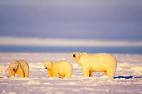 polar bear, Ursus maritimus, mothers with cubs on the frozen 1002 coastal plain, Arctic National Wildlife Refuge, Alaska, polar bear, Ursus maritimus