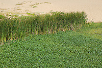 Cattails, Typha sp., and floating marshpennywort, Hydrocotyle ranunculoides, at Abbotts Lagoon, Point Reyes National Seashore, California