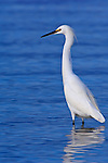 US, FL, Ft. Myers Beach, Snowy Egret (Egretta thula)
