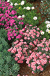 PINK AND PURPLE GARDEN SPICE CARNATIONS, DIANTHUS HYBRIDS