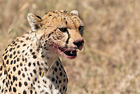 Cheetah, Acinonyx jubatus jubatus, with blood on its face after killing and partially eating a Thomson's Gazelle, Eudorcas thomsonii, in Serengeti National Park, Tanzania