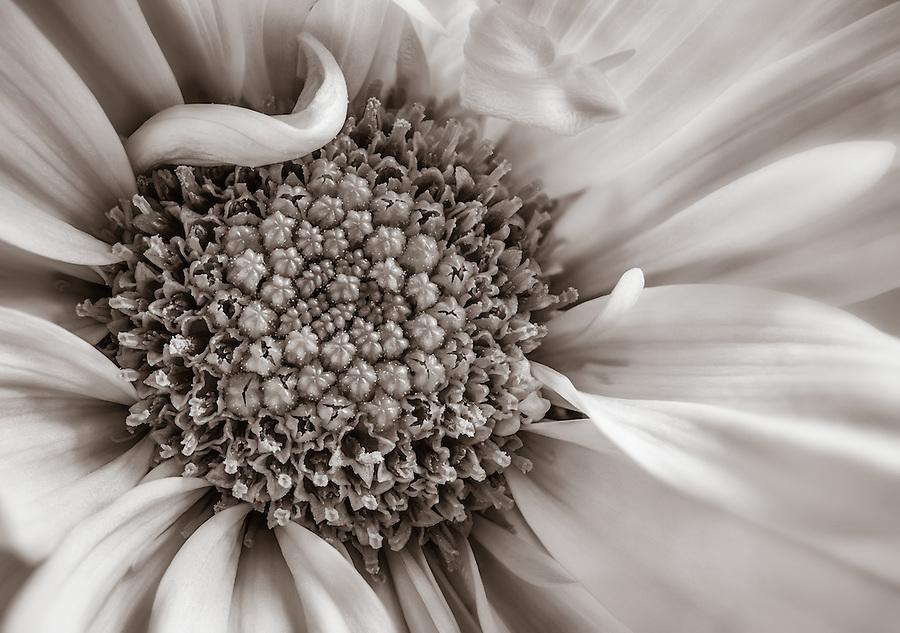 Close up of a monochrome daisy flower.