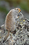 Arctic ground squirrel crouches on a lichen-covered rock, Denali National Park, Alaska, USA