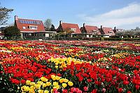 Nederland Limmen 2018. In Noord-Holland ligt de Hortus Bulborum. In de tuin staan meer dan 4000 soorten bloemen. De hortus, waarin voornamelijk tulpen en narcissen staan, is in 1928 opgericht. De Hortus Bulborum is een proeftuin, waar nieuwe soorten worden gekweekt.  Foto Berlinda van Dam / Hollandse Hoogte