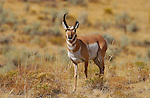 Pronghorn Male, Snagglehorn, Lava Creek, Yellowstone National Park, Wyoming