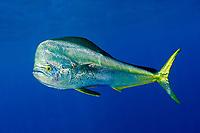 mahi-mahi or common dolphinfish, Coryphaena hippurus, bull, Louisiana, USA, Gulf of Mexico, Atlantic Ocean