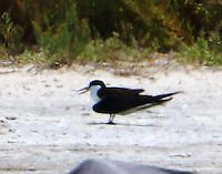 Sooty tern in breeding plumage