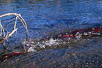 Annual Adams River Sockeye Salmon Run (Oncorhynchus nerka), Roderick Haig-Brown Provincial Park near Salmon Arm, BC, British Columbia, Canada - Fish returning to Spawn