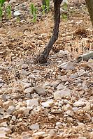 Chateau de Lascaux, Vacquieres village. Pic St Loup. Languedoc. Syrah vines and Lascaux type of calcareous rock and sandy/clay soil. Terroir soil. France. Europe. Vineyard. Soil with stones rocks. Clay. Sand. Calcareous limestone.