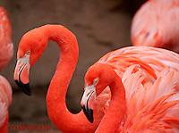 0908-0827  Pair of American Flamingos (Caribbean Flamingos), Phoenicopterus ruber  © David Kuhn/Dwight Kuhn Photography.