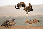 Vulture and jackel fighting by Charlaine Gerber