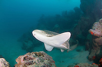 The zebra shark (Stegostoma fasciatum or varium) is a species of carpet shark and the sole member of the family Stegostomatidae. It is found throughout the tropical Indo-Pacific, frequenting coral reefs and sandy flats to a depth of 60 m. Adult zebra sharks are distinctive in appearance, with five longitudinal ridges on a cylindrical body, a low caudal fin comprising nearly half the total length, and a pattern of dark spots on a pale background. Young zebra sharks under 50-90 cm long have a completely different pattern, consisting of light vertical stripes on a brown background, and lack the ridges. This species attains a length of 2.5 m..Zebra sharks are nocturnal and spend most of the day resting motionless on the sea floor. At night, they actively hunt for molluscs, crustaceans, small bony fishes, and possibly sea snakes inside holes and crevices in the reef. Though solitary for most of the year, they form large seasonal aggregations. The zebra shark is oviparous: females produce several dozen large egg capsules, which they anchor to underwater structures via adhesive tendrils. Innocuous to humans and hardy in captivity, zebra sharks are popular subjects of ecotourism dives and public aquaria. The World Conservation Union has assessed this species as Vulnerable worldwide, as it is taken by commercial fisheries across most of its range (except off Australia) for meat, fins, and liver oil. There is evidence that its numbers are dwindling.