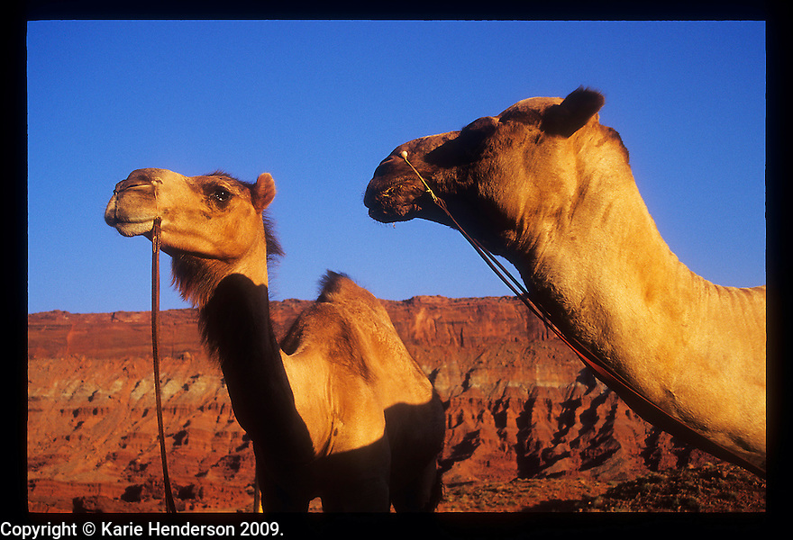 """Bill and Oscar, left to right, of """"Camelot's"""" camel herd in southern Utah. Photo by, Karie Henderson © 2002"""
