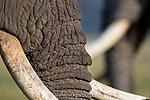Bull Elephant (Loxodonta africana). Ngorongoro Crater, Ngorongoro Conservation Area, Tanzania. April 2015