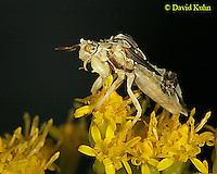 0904-06ww  Ambush bug - Phymata spp. Virginia - © David Kuhn/Dwight Kuhn Photography