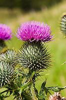 Thistle. Close-up..Copyright..John Eveson, Dinkling Green Farm, Whitewell, Clitheroe, Lancashire. BB7 3BN.01995 61280. 07973 482705.j.r.eveson@btinternet.com.www.johneveson.com