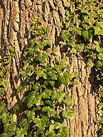 Gewöhnlicher Efeu, klettert an Eichenrinde empor, Hedera helix, Common Ivy, Lierre grimpant