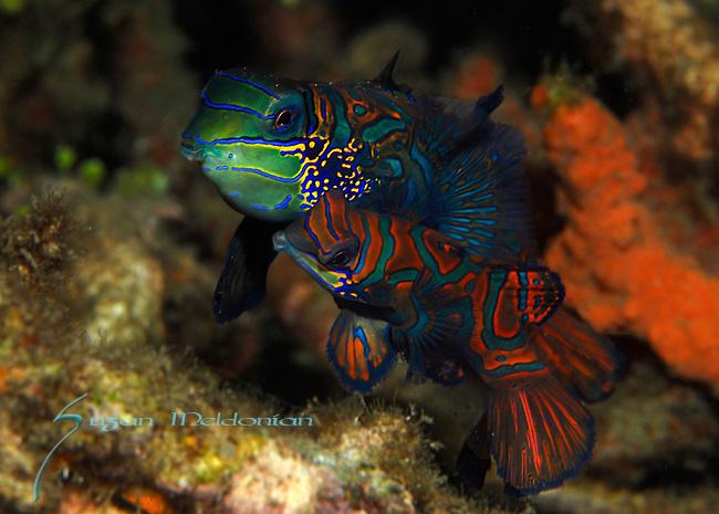 Mating Mandarinfish pair, Synchiropus splendidus, Lembeh Straits, Sulawesi Sea, Indonesia, Amazing Underwater Photography