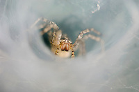 Funnel Web Spider, Agelenidae, adult in Web, Willacy County, Rio Grande Valley, Texas, USA, June 2006
