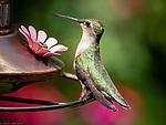 Immature Ruby-Throated Hummingbird at feeder
