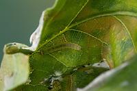 Wickler, Raupe frisst an Eiche i eingerolltem Blatt, Ancylis mitterbacheriana, tortrix moth, leafroller moth, red roller, tortrix motten, caterpillar, Wickler, Tortricidae, tortrix moths,  leafroller moths, Les tortricidés