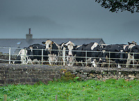 A grey and damp start to the day in Dunsop Bridge, Clitheroe, Lancashire as dairy cows make their way back to the fields after milking.