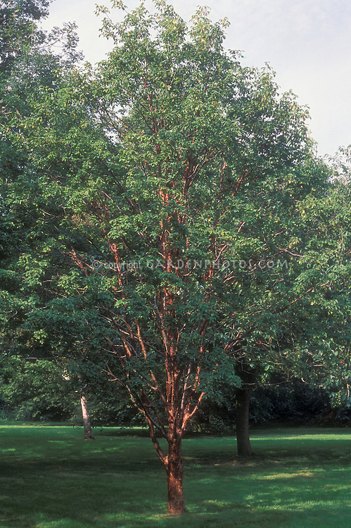 Acer griseum tree full tree