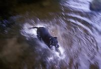 Black dog running and splashing through water..