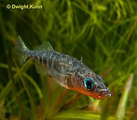 1S12-539z  Male Threespine Stickleback,  Mating colors showing bright red belly and blue eyes,  Gasterosteus aculeatus,  Hotel Lake British Columbia