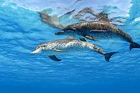 Atlantic spotted dolphins, Stenella frontalis, Bahamas, Caribbean Sea, Atlantic Ocean