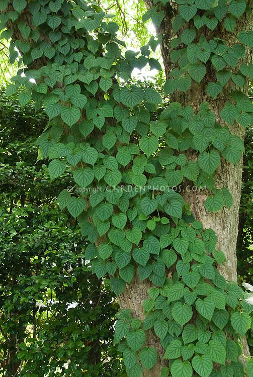 Schizophragma hydrangeoides climbing a tree