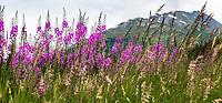 Summer wildflowers (Fireweed - Chamerion angustifolium or Epilobium angustifolium ) and grasses panorama at Turnagain Pass in Chugash National Forest on Kenai Peninsula, Alaska