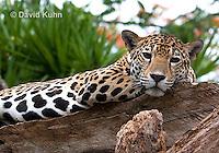 0522-1106  Goldman's Jaguar, Belize, Panthera onca goldmani  © David Kuhn/Dwight Kuhn Photography